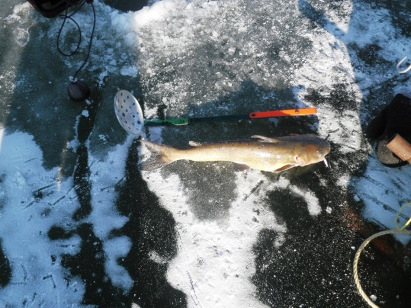 Chicago fishing reports chicago fishing forums view for Ice fishing for catfish